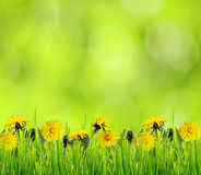 Green grass and dandelion flowers for background Stock Images