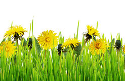 Green grass and dandelion flowers Royalty Free Stock Photos