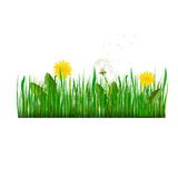 Green Grass with dandelion Vector Illustration Stock Photography