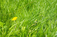 Green grass and dandelions Royalty Free Stock Photos