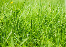 Green grass and dandelions Stock Image