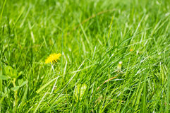 Green grass and dandelions Royalty Free Stock Images