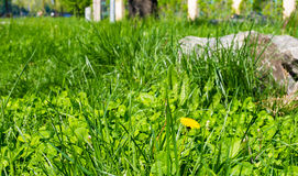 Green grass and dandelions Royalty Free Stock Photo