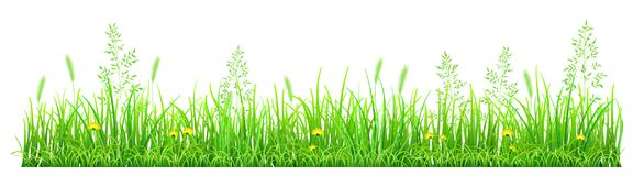 Green grass with dandelions. And spikelets on white background Royalty Free Stock Photos