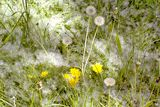 Green grass and dandelions powdered poplar fluff Stock Photo
