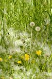 Green grass and dandelions powdered poplar fluff Stock Photos