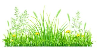 Green grass with dandelions. And spikelets on white background Royalty Free Stock Photography