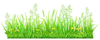 Green grass with dandelions. And spikelets on white background Stock Image
