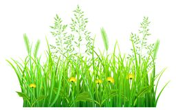 Green grass with dandelions. And spikelets on white background Royalty Free Stock Photo