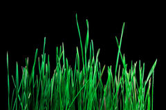 Green grass on dark background. Young leafs of green grass  on dark background Royalty Free Stock Photo