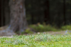 Green grass in dark forest shallow depth of field effect Royalty Free Stock Images