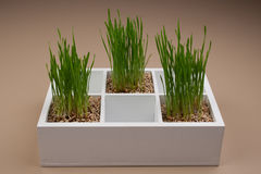 Green grass in decorative white box Royalty Free Stock Photos