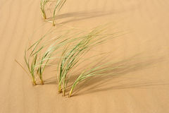 Green grass in the desert Stock Image