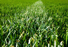 Green Grass Detail Royalty Free Stock Photography