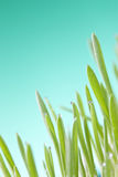 Green Grass Detail Wheat Royalty Free Stock Images