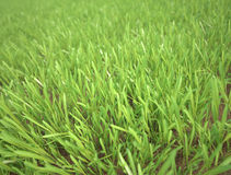 Green grass detailed close up royalty free stock photo