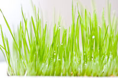 Green grass and dew. Green new grass with dew, water drops royalty free stock photos