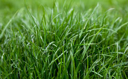 Green grass dew Stock Image