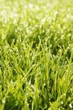 Green grass in a dew Stock Photography