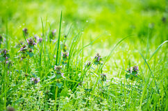 Green grass and dew Stock Image