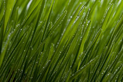 Green grass with dew. Drops Royalty Free Stock Images