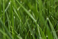 Green grass with dew, close up. stock photo
