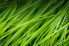 Green grass with dew drops Royalty Free Stock Photography