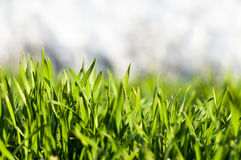 Green grass with dew drops 2. Fresh juicy green grass with dew for your design Stock Photography