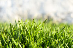 Green grass with dew drops. Fresh juicy green grass with dew for your design Stock Images