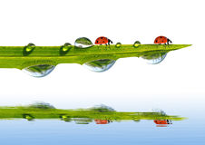 Green grass with dew drops and ladybugs Stock Photos