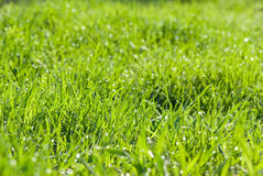 Green grass with dew drops Stock Image
