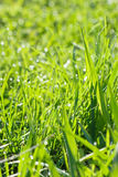 Green grass with dew drops Stock Photography