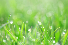 Green grass with dew drops Royalty Free Stock Image