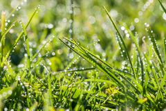 Green grass with dew drops in sunlight on a spring meadow. Stock Photo