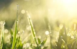 Green grass with dew drops in sunlight on a summer meadow Stock Images