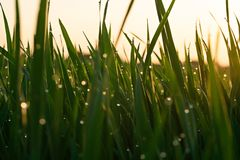 Green grass with dew drops at sunrise in spring against the background of sunlight. Beauty of nature. Close-up. Focus control stock images