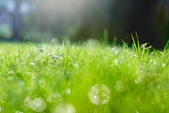 Green grass with dew and a lot of light glare Royalty Free Stock Photography