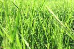 Green grass with dew in the morning Stock Photos