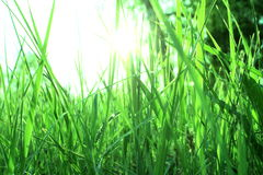 Green grass with dew in the morning Royalty Free Stock Photo
