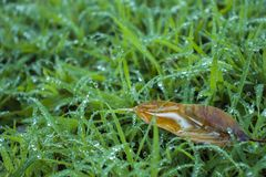 Green grass with dew, nature with copy space using as background or wallpaper royalty free stock photography