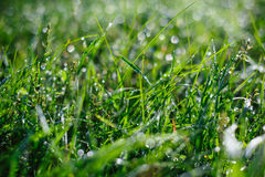 Green grass and dew in summer Park Stock Image