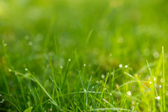 Green grass with dew in the sunlight Stock Image