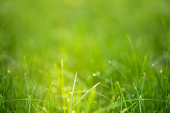 Green grass with dew in the sunlight Royalty Free Stock Photography