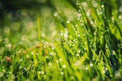 Green grass with dew in sunlight Royalty Free Stock Photo