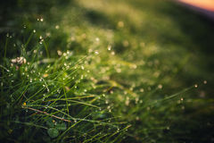 Green grass with dew in sunlight Stock Photos