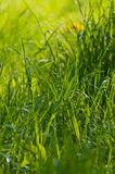Green grass with dew Royalty Free Stock Photos