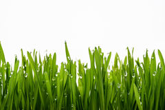 Green grass and dew Royalty Free Stock Photography