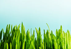 Green grass with dews drop Stock Image