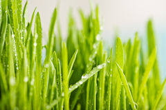 green grass with dews drop Royalty Free Stock Image