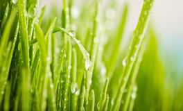 Green grass with dews drop Stock Images